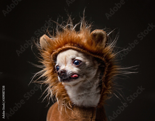 Photo cute chihuahua dressed in a lion costume with his tongue hanging out in  in a st
