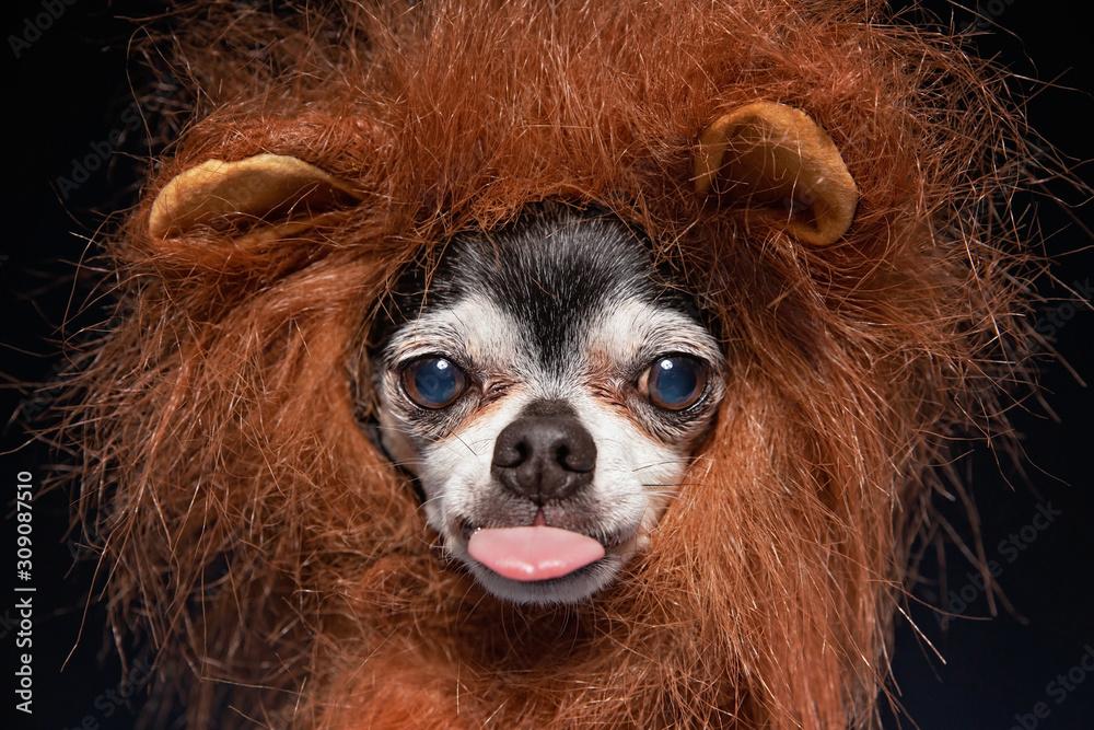 Fototapeta cute chihuahua lin a lion mane costume in a studio setting