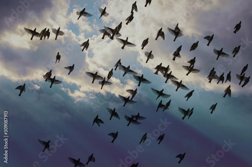 Photo group of bohemian waxwings fly under a beautiful storm cloud filled sky on a war