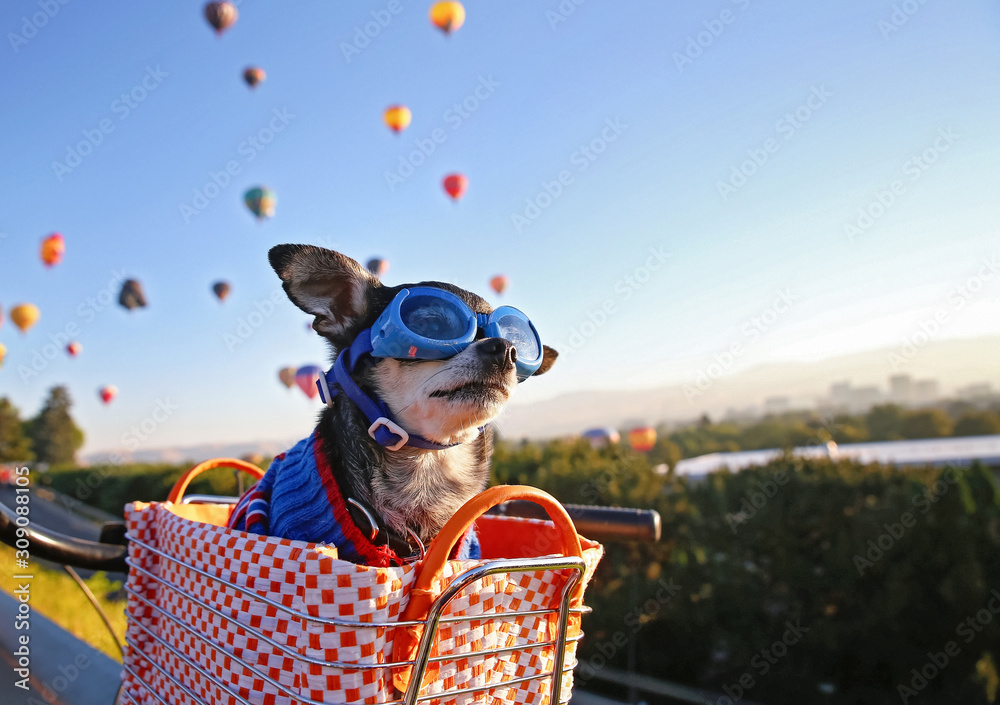 cute chihuahua sitting in a bike basket at sunrise with a hoodie and goggles