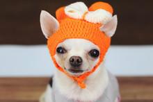 White Short Hair Chihuahua Wea...