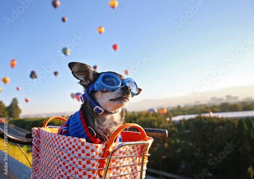 obraz dibond cute chihuahua sitting in a bike basket at sunrise with a hoodie and goggles