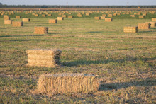 Hay Alfalfa Bails Dry In Field
