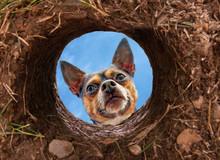 Cute Chihuahua Looking Into A ...