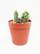 Small cactus in pot isolated on white background