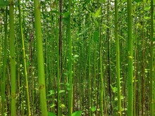 Closeup Image Of Green Jute Plant In The Field. Jute Cultivation In Assam In India.
