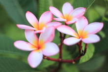 Macro Ping Flower  Image