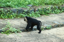 Lion Tailed Macaque Monkey In ...