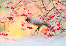 Robin With Red Berries