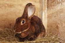 Cute Brown Rex Rabbit In A Farm