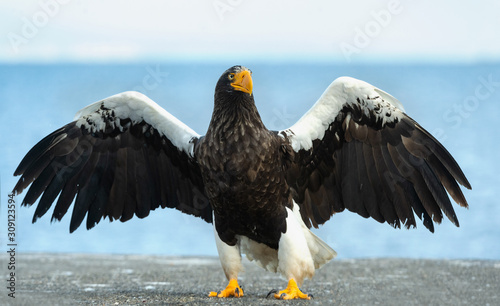 Adult Steller's sea eagle spreading wings Wallpaper Mural
