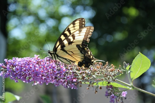 monarch butterfly landing on a flower