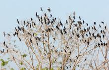 Roosting Cormorants And Darters In Tree Tops, Bueng Boraphet Wetlands, Nakhorn Sawan Province, Thailand