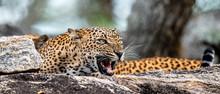 Leopard Roaring. Leopard On A ...