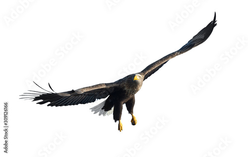 Photo Adult White tailed eagle in flight