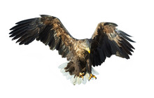 Adult White Tailed Eagle In Fl...