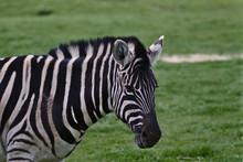 A Photo Zebra Standing In A Fi...