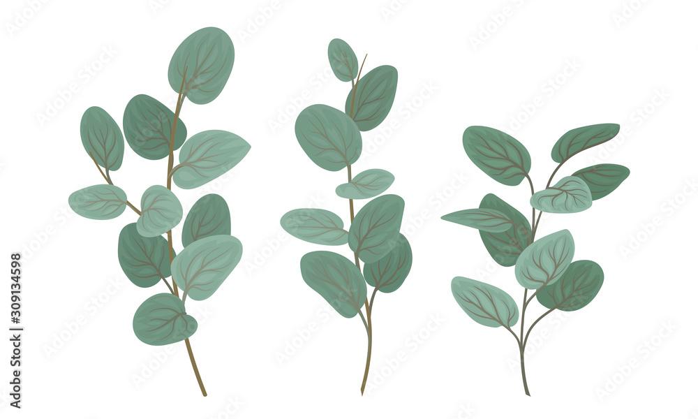 Fototapeta Eucalyptus Branches with Leaves Vector Set. Botanical Design Elements