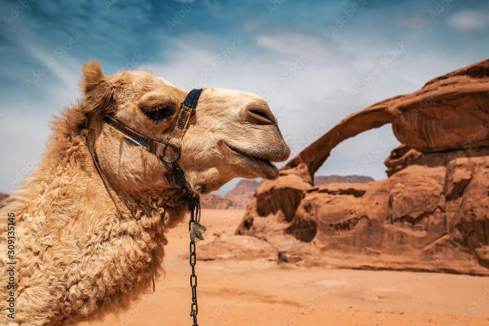 camel in Wadi Rum desert
