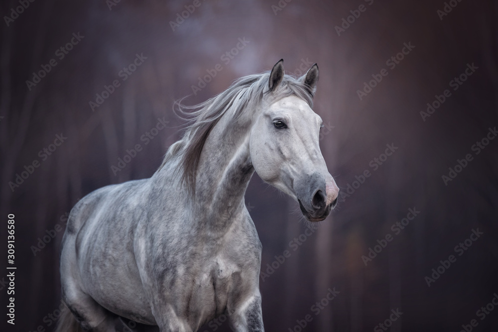 Fototapeta Close up portrait of a purebred arabian stallion running free on the beautiful nature background.