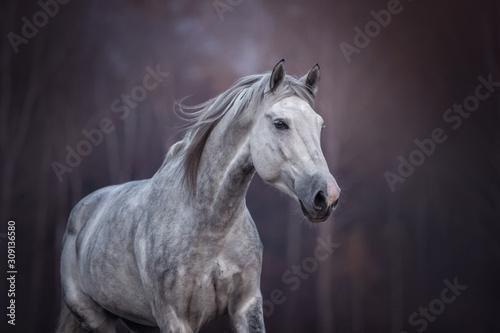 Fototapeta Close up portrait of a purebred arabian stallion running free on the beautiful nature background.  obraz