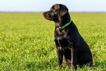 Black Labrador Dog In A Field