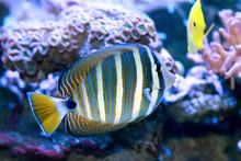 Fish Red Sea Sailfin Tang.