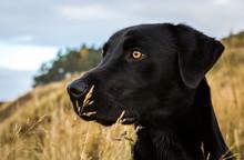 Hunting Dog, Black Labrador, A...