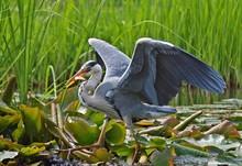 Grey Heron Bird Catching Fish In A Lake
