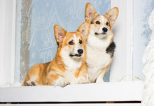 Welsh Corgi Dogs On The Window...