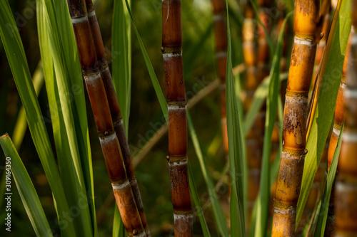 Sugarcane planted to produce sugar and food Fototapeta
