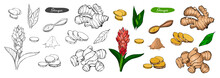 Ginger Hand Drawn Vector Illustration.Detailed Colorful Style Sketch.Kitchen Herbal Spice And Food Ingredient.Ginger Flower,powder, Leaves, Root And Pieces. Outline And Colored Version