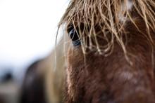 Gros Plan Sur L'oeil D'un Cheval Islandais Avec Crin Humide