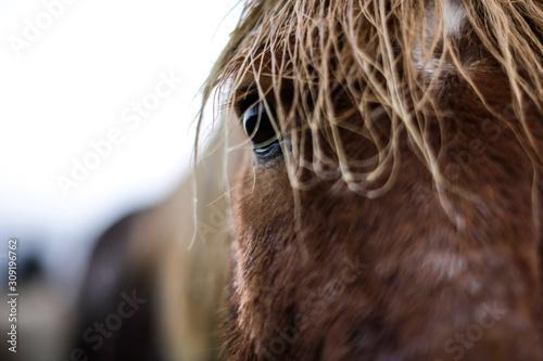 Cuadros en Lienzo Gros plan sur l'oeil d'un cheval islandais avec crin humide
