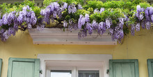 Beautiful Lilac Wisteria Grows...