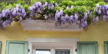 Beautiful Lilac Wisteria Grows...