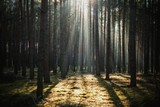 Fototapeta  - Beautiful view of the sun shining through the tall trees in a forest