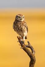 Cute Little Owl. Yellow Blue N...