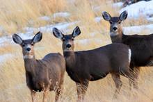 Herd Of Mule Deer In The Color...