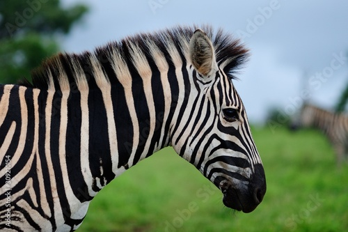 Photo Selective focus shot of a beautiful zebra in the middle of the jungle