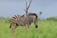 Zebra Walking In A Grassy Field Looking Down In His Natural Habitat