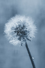White Fluffy Dandelion In Wate...