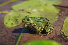 Green Water Frog (Rana Lessona...