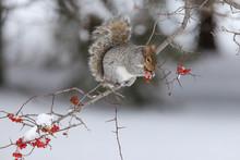Eastern Grey Squirrel In Winter