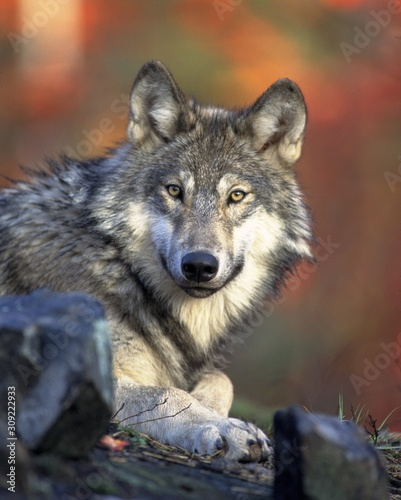 obraz dibond lobo salvaje