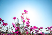 Colorful Cosmos Flower Garden Blooming In Spring Season On Blue Sky
