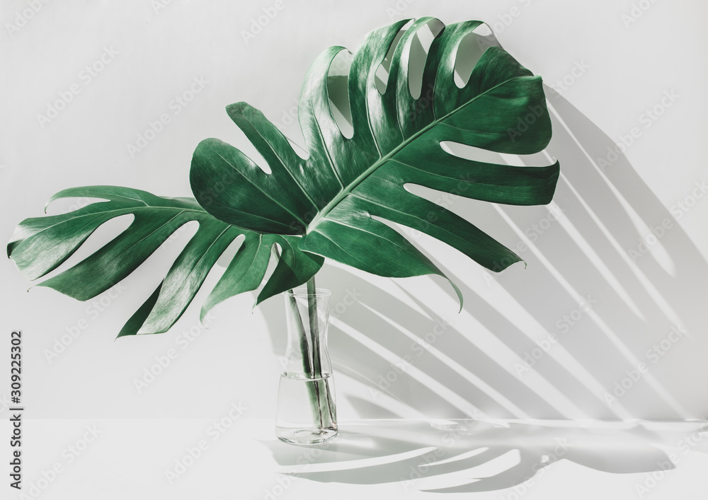 Fototapeta Monstera leaves in glass jug with sunlight and long shadow on wall