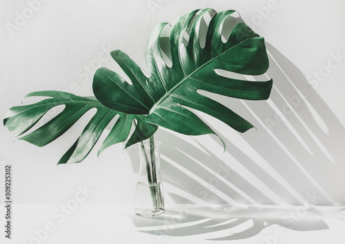 Obraz Monstera leaves in glass jug with sunlight and long shadow on wall - fototapety do salonu