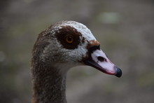 Egyptian Goose Portrait Closeup