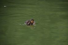 Cute Tiny Baby Duckling Swimmi...